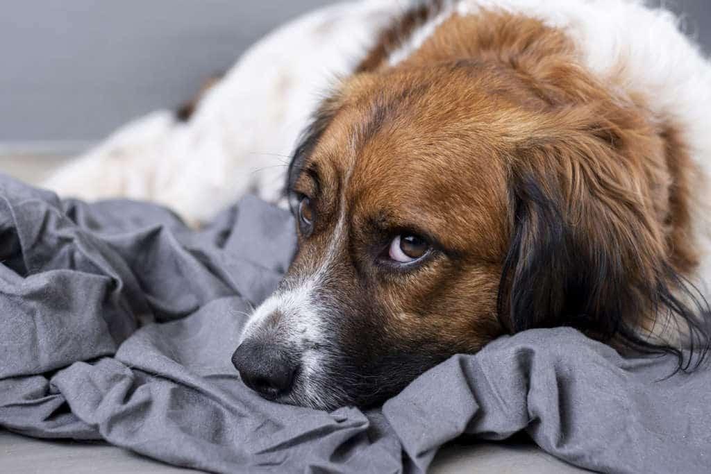 chien stressé anxieux angoissé triste